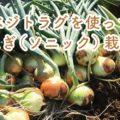 ベジトラグで玉ねぎ(品種:ソニック)栽培!